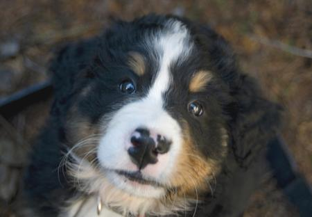 Sam the Bernese Mountain Dog Pictures 25041